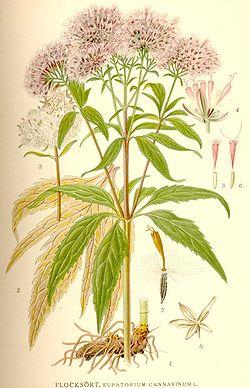 tanaisie plante anti poux rouge